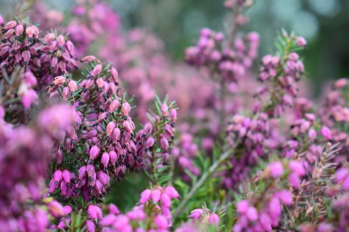 Close up of Bell Heather