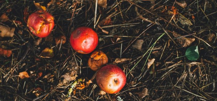 Apples in compost